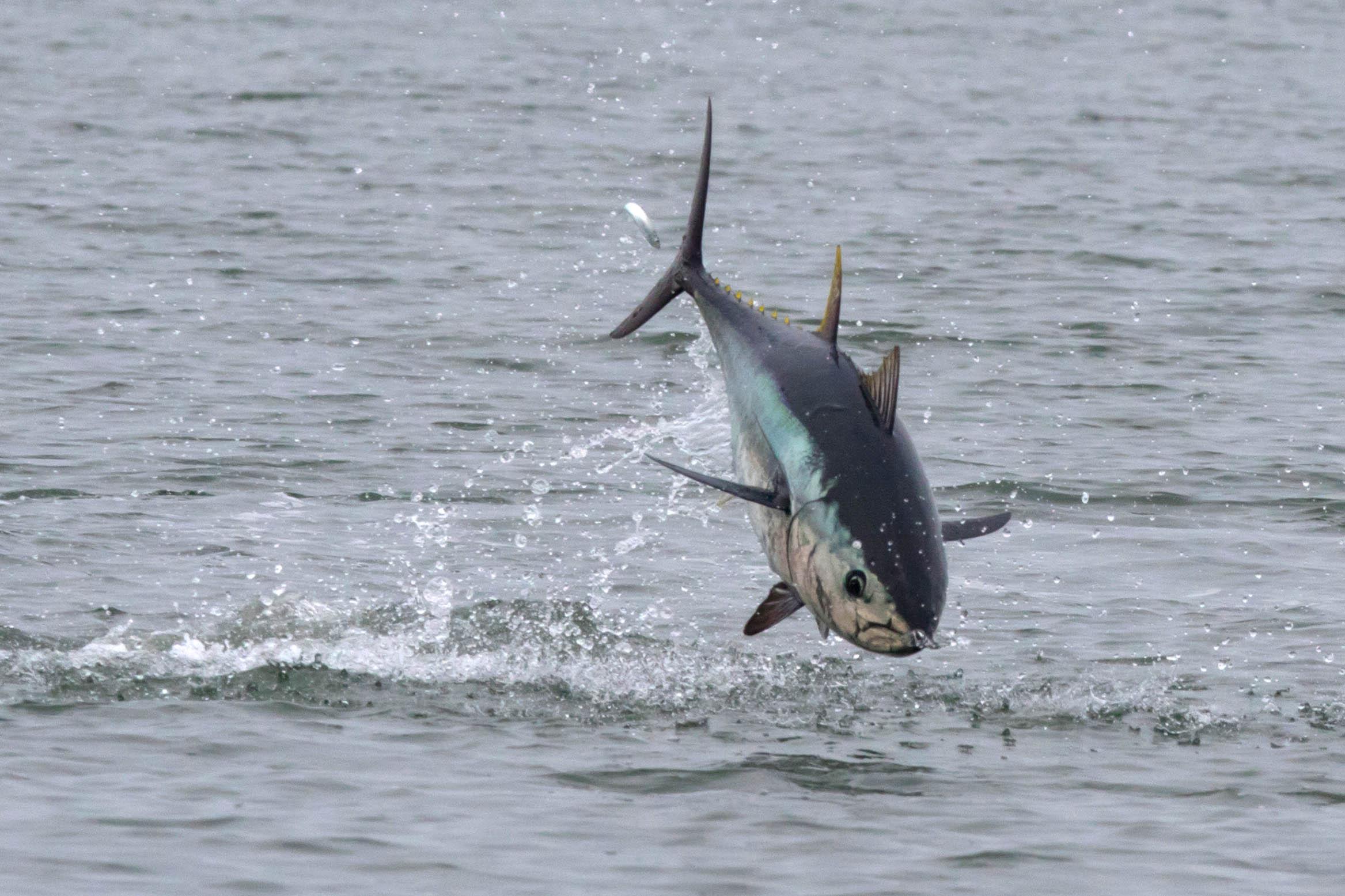 La pêche du thon aux leurres et en casting !!! Le film ...